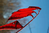 Red tree leaves